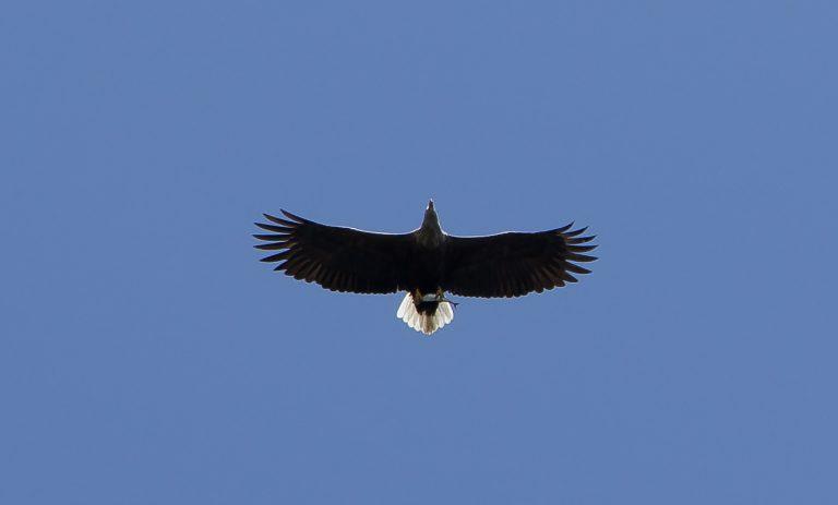 sea eagle copy 768x463